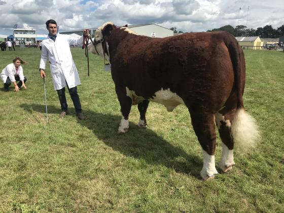 Hereford Stock Bull - 4 years old