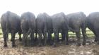 Aberdeen Angus Bulls