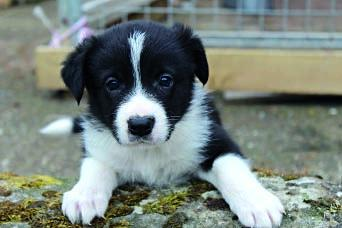 Holystone Estate Strong, healthy Border Collie pups from ISDS