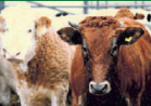 CATTLE AND SHEEP FEED