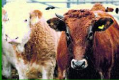 CHEAP FEEDS LTD CATTLE AND SHEEP FEED HIGH QUALITY ANIMAL FEEDS