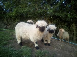 Valais Blacknose Tups available
