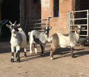 Pygmy Kid Goats