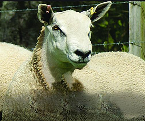 Logie Durno Sheep