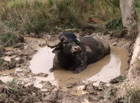 WATER BUFFALO FOR SALE.