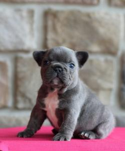 Absolutely Blue Adorable French Bulldog Puppies Now Available