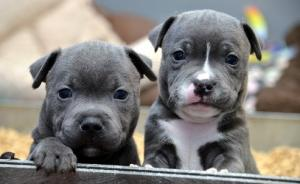 Blue Staffordshire Bull Terrier Puppies Now For Sale