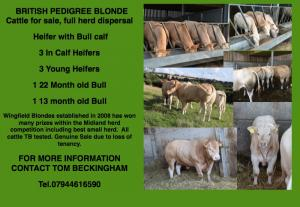 British Blonde Cattle For Sale