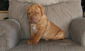 Dogue de Bordeaux pups ready to go now