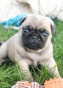 Gorgeous Male And Female Pug  Puppies For Sale