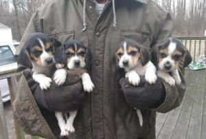Stunning Beagle Puppies Now Available For Sale