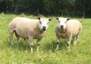 TOP QUALITY Texel X Beltex & Beltex Shearling Rams