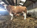 Pedigree Simmental Bull from the Manor Park herd