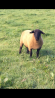 SUFFOLK SHEARLING RAMS & RAM LAMBS