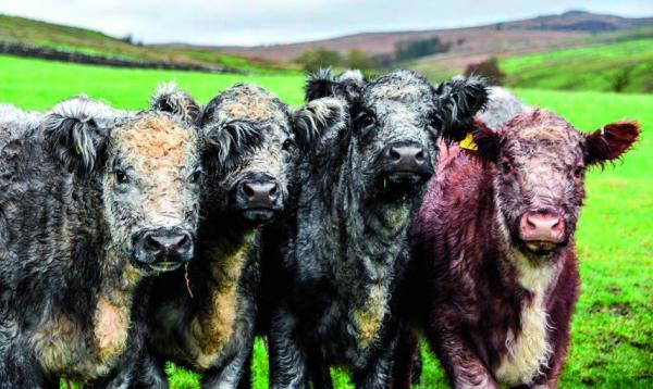 6 Blue Grey Heifers