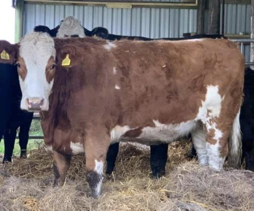 8 Sim Luing Heifers and Angus Calves & 2 in calf to Limousin
