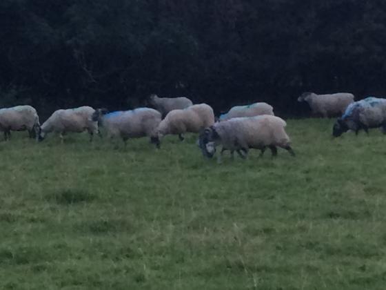 Correct SBF ewes