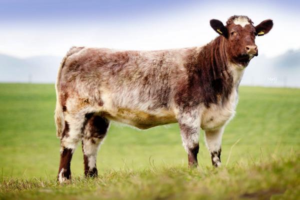 Pedigree Beef Shorthorn Heifer