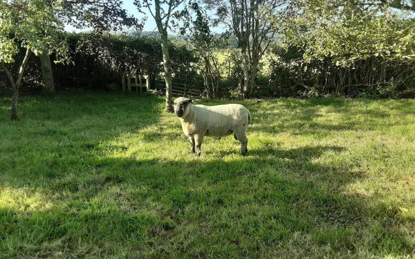 Shropshire Pedigree Registered Ram for Sale