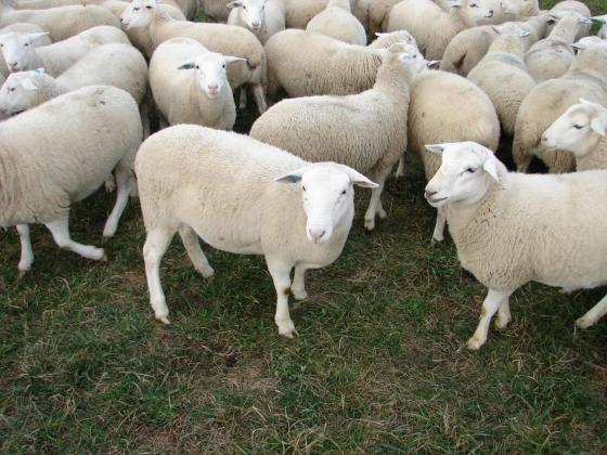 White Dorper sheep for sale
