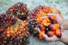 palm oil for cooking,biodiesel and other use