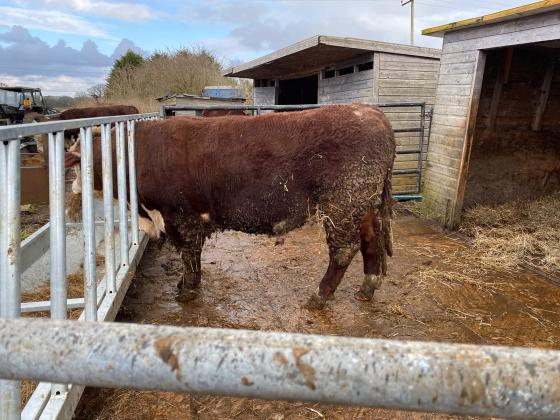 Burtondale Pedigree Registered Polled Hereford Bull