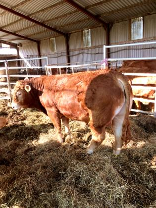 3 PEDIGREE REGISTERED LIMOUSIN YOUNG BULLS