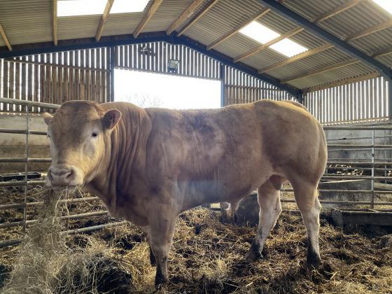 British Blonde Bull