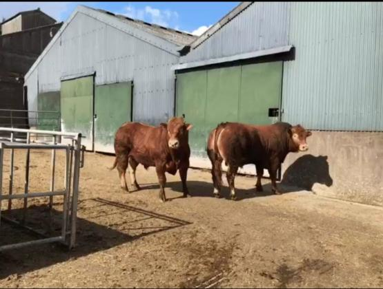 Pedigree Limousin Bull