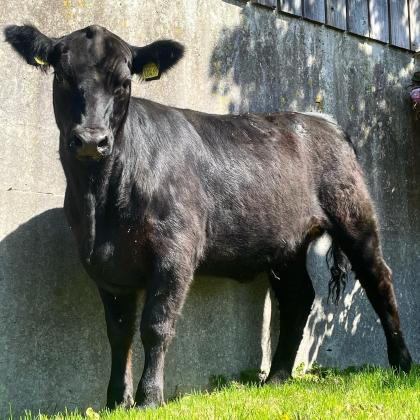 Pedigree Angus Maiden Heifers