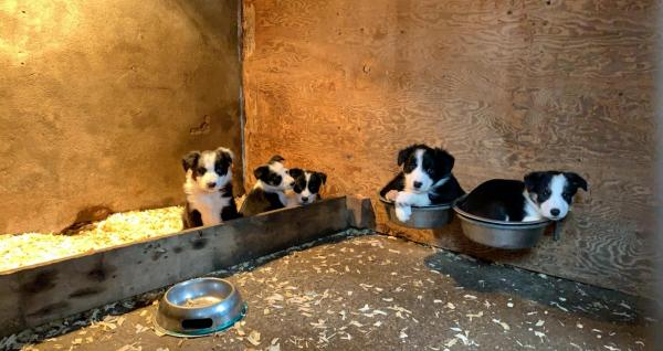 4 ISDS Registered Border Collie Puppies