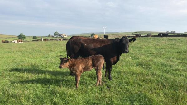 Dispersal Sale of 60 BB X Limousin Beef Cows