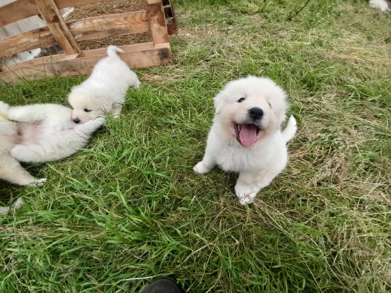 Maremma Pups Livestock Guardians