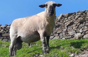 The Lumb Flock Hampshire Down Pedigree Sheep