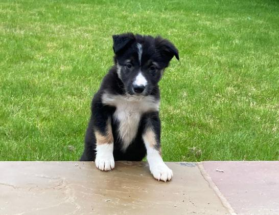 2 Border Collie Pups For Sale