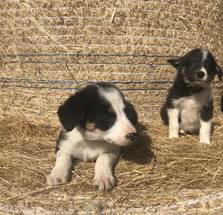 Pure bred border collie pups for sale