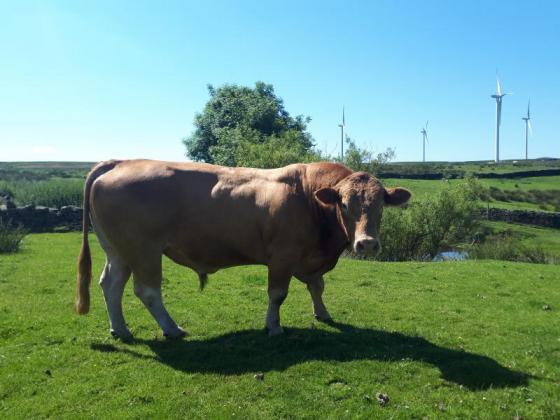 Stabilizer Bull