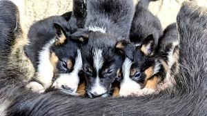 ISDS Registered Working Border Collie Puppies (Thistledownsheepdogs)