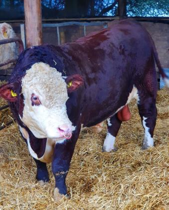Pedigree Hereford Bull